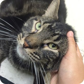 Domestic Shorthair Cat for adoption in Rockaway, New Jersey - Marshmallow
