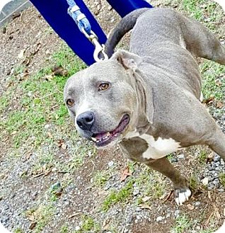 American Staffordshire Terrier Mix Dog for adoption in Williamsburg, Virginia - JADA