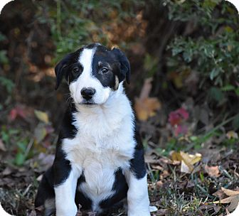 Shepherd (Unknown Type) Mix Puppy for adoption in South Dennis, Massachusetts - Rio