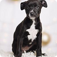 Adopt A Pet :: Black Widow - Portland, OR