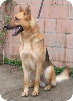 German Shepherd Dog Dog for adoption in El Segundo, California - Rex