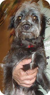 Standard Schnauzer/Poodle (Miniature) Mix Dog for adoption in Melrose, Florida - Reuben
