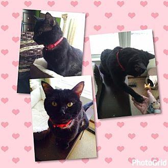 Domestic Shorthair Cat for adoption in O'Fallon, Missouri - Sully