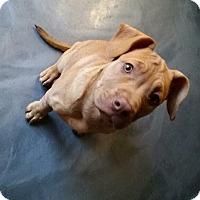 Adopt A Pet :: Latte - bridgeport, CT