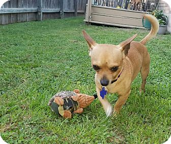 Chihuahua Mix Dog for adoption in Hamilton, Ontario - Wesley