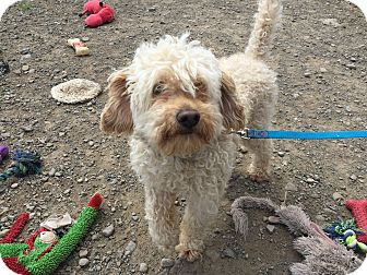 Miniature Poodle Mix Dog for adoption in Tioga, Pennsylvania - Quincy