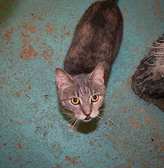 Domestic Shorthair Cat for adoption in Pottsville, Pennsylvania - Dinky