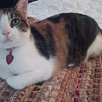 Adopt A Pet :: Cali - Overland Park, KS