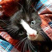 Adopt A Pet :: Han Solo - Turnersville, NJ