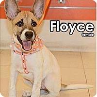 Adopt A Pet :: Floyce - Taiwan Pup - Encino, CA