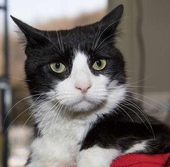 Domestic Shorthair/Domestic Shorthair Mix Cat for adoption in Stroudsburg, Pennsylvania - Dave