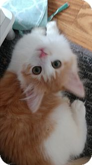 Domestic Longhair Kitten for adoption in Concord, North Carolina - Taffy