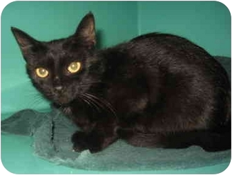 Domestic Shorthair Cat for adoption in Port Hope, Ontario - Begonia