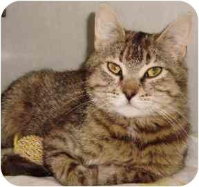 Domestic Shorthair Cat for adoption in Walker, Michigan - Flora