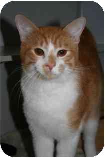 Domestic Shorthair Cat for adoption in Marietta, Georgia - Scotty