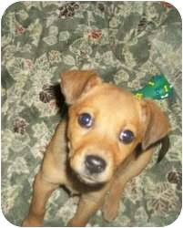 Terrier (Unknown Type, Medium) Mix Puppy for adoption in Lonedell, Missouri - This dear little puppy was dum