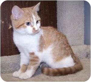 Domestic Shorthair Kitten for adoption in Colorado Springs, Colorado - K-Valencia2-Valerie