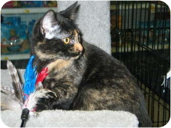 Domestic Shorthair Cat for adoption in West Dundee, Illinois - Sunny