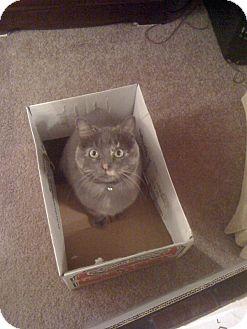 Domestic Shorthair Cat for adoption in Farmington, Arkansas - Hallie