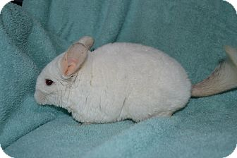 Chinchilla for adoption in Patchogue, New York - Penelope