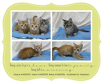 Domestic Mediumhair Kitten for adoption in Lufkin, Texas - GRACE