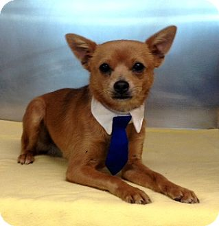 Chihuahua Mix Dog for adoption in Dublin, California - Dublin
