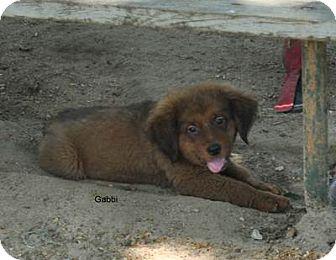 Golden Retriever/Shepherd (Unknown Type) Mix Puppy for adoption in East Hartford, Connecticut - Gabbi-pending adoption