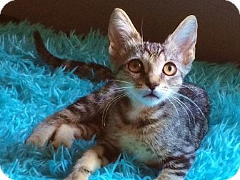 Domestic Shorthair Kitten for adoption in Riverview, Florida - Crystal