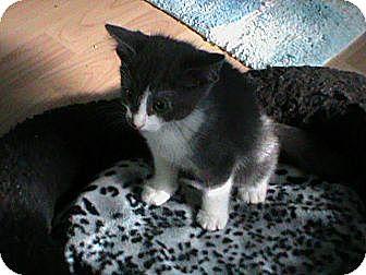 Domestic Shorthair Kitten for adoption in Webster, Massachusetts - Peter