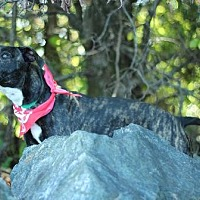 American Pit Bull Terrier Dog for adoption in Chatham, Virginia - Squeaker