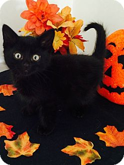 Domestic Shorthair Kitten for adoption in St Clair Shores, Michigan - Stoli