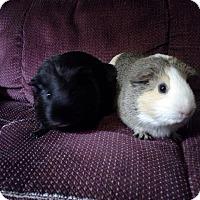 Adopt A Pet :: Junie &Patchwork - San Antonio, TX