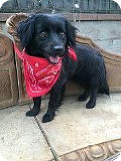 Tibetan Spaniel/Sheltie, Shetland Sheepdog Mix Dog for adoption in Santa Ana, California - Maggie