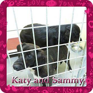 Labrador Retriever/Flat-Coated Retriever Mix Dog for adoption in Kenmore, New York - Katy & Sammy