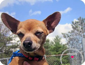Chihuahua Mix Dog for adoption in Sidney, Ohio - Lola