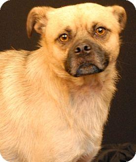 Pug Mix Dog for adoption in Newland, North Carolina - Milo