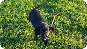 Labrador Retriever Mix Puppy for adoption in Evergreen, Colorado - Crunch