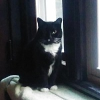 Domestic Shorthair Cat for adoption in Budd Lake, New Jersey - Sweetie