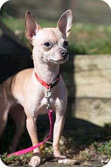 Chihuahua Dog for adoption in Columbus, Ohio - Gracie