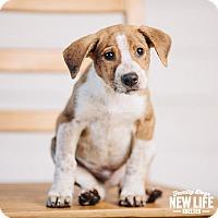 Adopt A Pet :: Bradley - Portland, OR