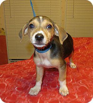Beagle/Dachshund Mix Puppy for adoption in Hagerstown, Maryland - Trix