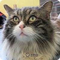 Adopt A Pet :: Gizmo - Jackson, NJ