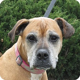 Boxer Mix Dog for adoption in Overland Park, Kansas - A055107 Macey