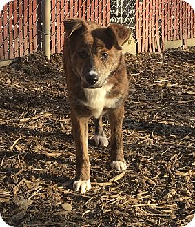 Jindo Mix Puppy for adoption in South Park, Pennsylvania - Tulip