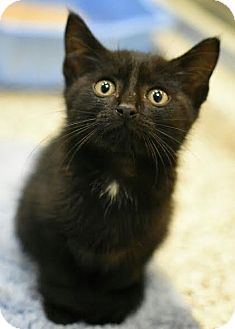 American Shorthair Kitten for adoption in Aiken, South Carolina - Lexus