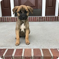 Shepherd (Unknown Type)/Cattle Dog Mix Puppy for adoption in Fort Collins, Colorado - Maple (FORT COLLINS)