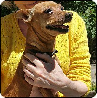 Miniature Pinscher Mix Dog for adoption in Colorado Springs, Colorado - liz