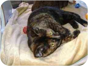 Domestic Shorthair Cat for adoption in Walker, Michigan - Claudia