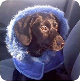 Labrador Retriever/Spaniel (Unknown Type) Mix Puppy for adoption in Avon, New York - Desi