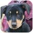 Photo 1 - Doberman Pinscher/Labrador Retriever Mix Puppy for adoption in Westport, Connecticut - *Eloise - PENDING